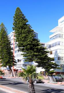 Windflüchter Bäume in Kapstadt, Südafrika, wind dodger, Cape Town, South Africa