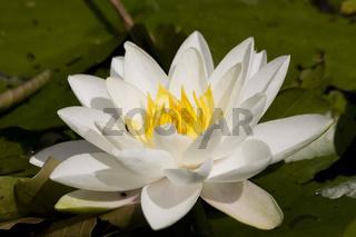 Weiße Seerose - Nymphaea alba
