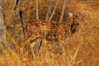 Spotted Deer of Chital at Sagareshwar wildlife sanctuary, Sangli, Maharashtra