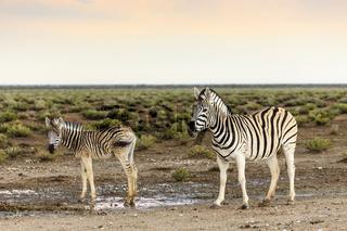 Zebras, Weibchen mit Fohlen