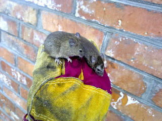Mice in hand. Ordinary house mice.