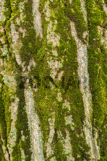 Background of the bark of a large tree