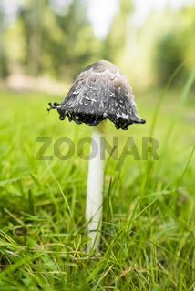 shaggy ink cap mushroom
