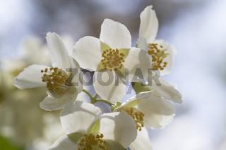 Apfelblüte, Apple blossom
