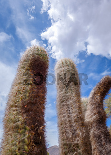 Hairy Cactus in the desert