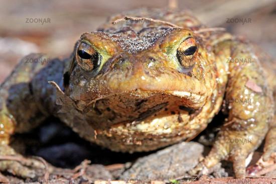 Erdkröte auf Wanderung; Common Toad