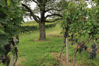 Weinanbaugebiet Ortenau