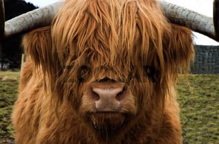Teddy cow
