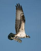 Osprey Catch II
