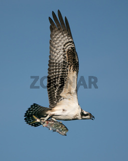 Osprey Catch II