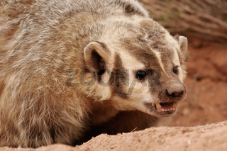 American badger (Taxidea taxus)