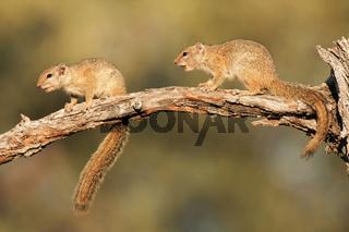 Smith's Tree Squirrel-Smith Buschhoernchen