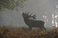 der Brunftschrei... Rothirsch *Cervus elaphus* röhrt auf einer Lichtung im herbstlichen Wald