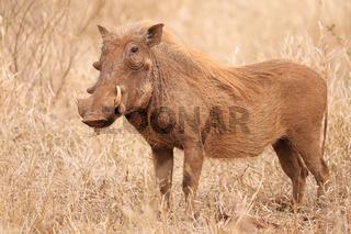 Warzenschwein im Kruger Nationalpark, rot durch den Sand, Südafrika; Warthog, South Africa, wildlife, red from the sand, Kruger Nationalpark