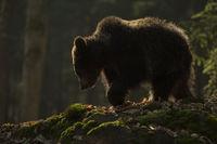 feinstes Gegenlicht... Europäischer Braunbär *Ursus arctos*