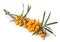 Branch with sea buckthorn berries and leaves