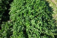 Petroselinum sativum, Petersilie, parsley