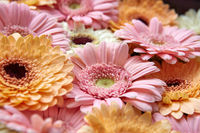 Background of bright pink and orange gerberas. Flower concept