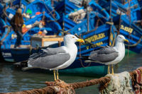Seagulls and blue boats in Essaouira