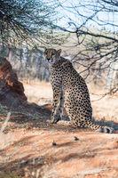 A cheetah is sitting under the tree cover at cheetahs farm