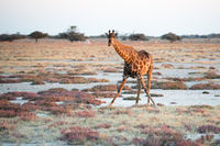 Giraffe is looking into photographer at Etosha National Park