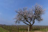 Ein alter Mandelbaum  (Prunus dulcis) im Wingert