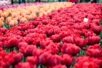 Group of red tulips in the park. Spring landscape
