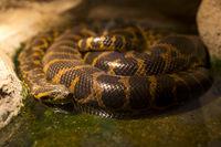 Paraguayan anaconda sleeping
