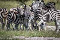 Three Zebras bonding in the Chobe.