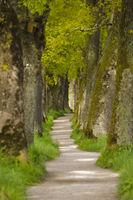 Baumallee mit alten Eichen und Fußweg