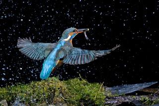 Eisvogel mit Fisch (Alcedo atthis)