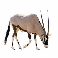 Oryx Gazella (Gemsbok) searching food isolated