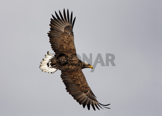 Seeadler, Polen, Haliaeetus albicilla, White-tailed Eagle, Sea Eagle, Poland