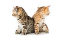 Zwei Britisch Kurzhaar Kätzchen