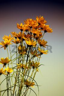 Blumenbund Engelmannia peristenia