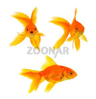 Three goldfishes isolated on a white background
