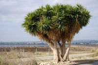 Dragon blood tree near the Las Salinas of Torrevieja. Spain