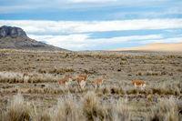 Vicugnasin the Salinas y Aguada Blanca National Reserve in Peru
