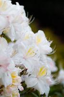 Flowering flower azalea, rhododendron in spring garden