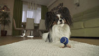 Dog Papillon playing with a ball on rug in the living room