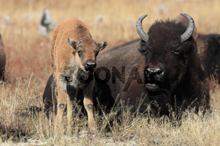 Bisonbulle mit Kalb im Yellowstone Park