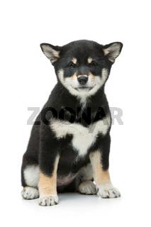 Beautiful shiba inu puppy isolated on white