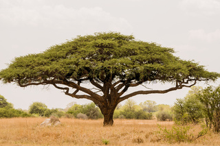 Akazienbaum in der Savanne Simbabwe, Südafrika