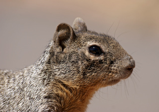 Grey Squirrel Close-Up – Grand Canyon