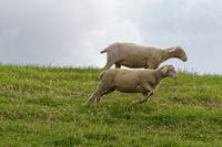 Laufende Schafe am Deich