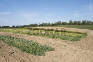 Salat auf einem Feld