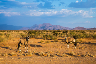 Two oryx standing in the savannah
