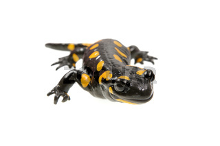 Fire salamander (Salamandra salamandra) isolated on a white background