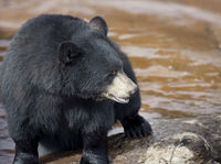 Black Bear near water