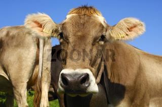 Hornloses Schweizer Braunvieh
